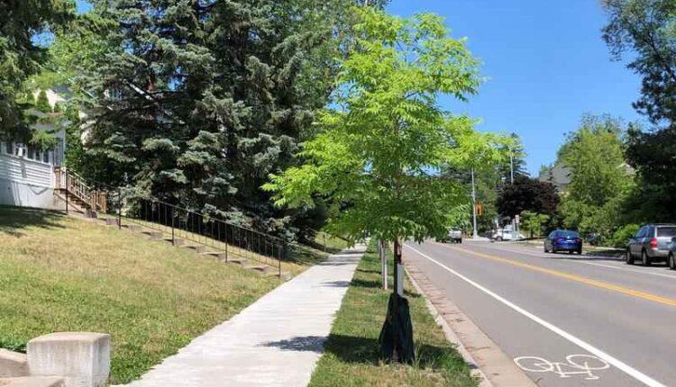amur-cork-tree.jpg